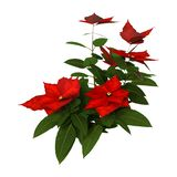 3D Rendering Christmas Poinsettia Plant on White royalty free stock photo