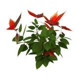 3D Rendering Christmas Poinsettia Plant on White stock image