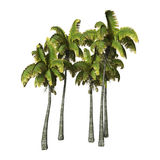 3D Rendering Coconat Palm Trees on White. 3D rendering of coconut palm trees isolated on white background Stock Photos