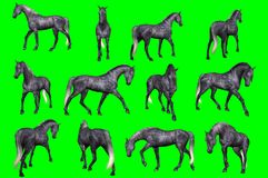 Collection of arabian horse poses. 3D rendering of a collection on chroma key background of arabian horse poses Royalty Free Stock Photos