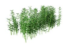 3D Rendering Common Nettle on White. 3D rendering of Urtica dioica, or common nettle, or stinging nettle isolated on white background Royalty Free Stock Photo
