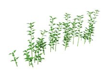3D Rendering Common Nettle on White. 3D rendering of Urtica dioica, or common nettle, or stinging nettle isolated on white background Royalty Free Stock Photos