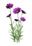 3D Rendering Cosmos Flowers on White Stock Photo