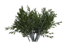 3D Rendering Creosote Bush on White Stock Photography
