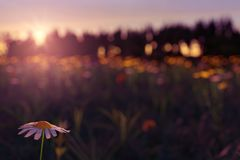 3d rendering of daisy flower in the blurred meadow during beauti. Ful sunset Stock Images