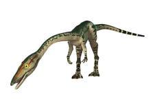 3D Rendering Dinosaur Coelophysis on White Stock Photos