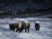 3D rendering dwa majestatyczny żubr w zima krajobrazie obrazy royalty free