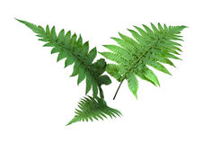 3D Rendering Fern Leaves on White. 3D rendering of three green fern leaves isolated on white background Royalty Free Stock Image