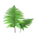 3D Rendering Fern Leaves on White. 3D rendering of two green fern leaves isolated on white background Royalty Free Stock Images