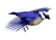 3D Rendering Florida scrub jay on White. 3D rendering of a Florida scrub jay bird or Aphelocoma coerulescens isolated on white background Stock Photography