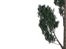 3d rendering of a foreground tree branch isolated on white backg. Round Royalty Free Stock Images