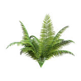3D Rendering Giant Fern on White. 3D rendering of a giant fern plant isolated on white background Royalty Free Stock Image