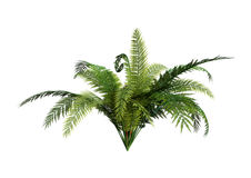 3D Rendering Giant Fern on White Royalty Free Stock Photos