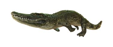 3D Rendering American Alligator on White Stock Images