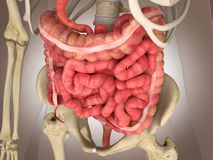 3D Rendering Intestinal internal organ Royalty Free Stock Image
