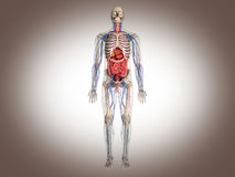 3D Rendering Intestinal internal organ Royalty Free Stock Images