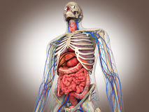 3D Rendering Intestinal internal organ Stock Photography
