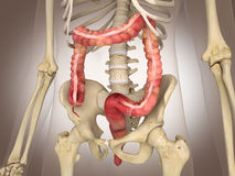 3D Rendering Intestinal internal organ Royalty Free Stock Photos