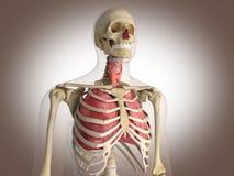 3D Rendering Intestinal internal organ Stock Images