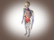 3D Rendering Intestinal internal organ Stock Image