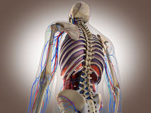 3D Rendering Intestinal internal organ Stock Photos