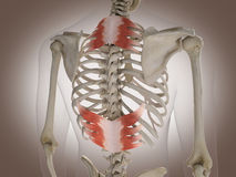 3D Rendering Intestinal internal organ Royalty Free Stock Photo