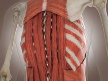 3D Rendering Intestinal internal organ Royalty Free Stock Images
