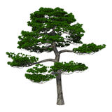 3D Rendering Japanese Pine Tree on White Royalty Free Stock Photo
