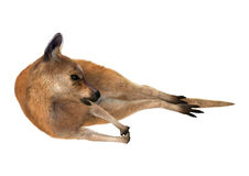 3D Rendering Kangaroo on White. 3D rendering of a red kangaroo isolated on white background Stock Photos