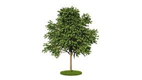 3d rendering of a loop realistic tree stock video