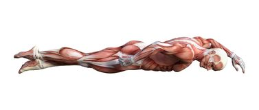 3D Rendering Male Anatomy Figure on White. 3D rendering of a male anatomy figure with muscles map swimming isolated on white background Stock Photo