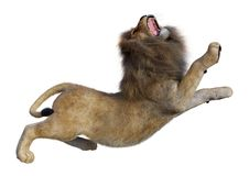 3D Rendering Male Lion on White. 3D rendering of a male lion isolated on white background Stock Photography