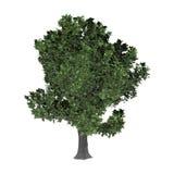 3D Rendering Oak Tree on White Stock Image