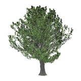 3D Rendering Oak Tree on White Stock Photography