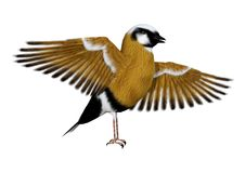 3D Rendering Parson Finch Bird on White. 3D rendering of a parsons finch or black-throated finch bird isolated on white background Stock Image
