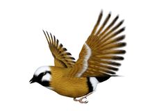 3D Rendering Parson Finch Bird on White. 3D rendering of a parsons finch or black-throated finch bird isolated on white background Royalty Free Stock Images