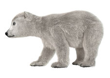 3D Rendering Polar Bear Cub on White Royalty Free Stock Photography