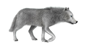 3D Rendering Polar Wolf on White Royalty Free Stock Image