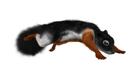 3D Rendering Prevost Squirrel on White. 3D rendering of a Prevost`s squirrel or Asian tri-colored squirrel  isolated on white background Stock Photos
