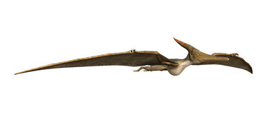 3D Rendering Pteranodon on White. 3D rendering of a prehistoric reptile Pteranodon isolated on white background Stock Photography