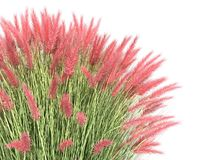 3d rendering of a realistic flower bush from front  view isolate Royalty Free Stock Images