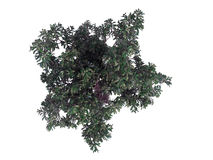 3d rendering of a realistic green top view tree isolated on whit. E royalty free illustration