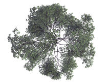 3d rendering of a realistic green top view tree isolated on whit. E Royalty Free Stock Photo