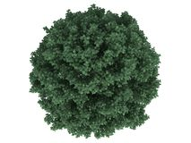 3d rendering of a realistic green tree top view isolated on whit. E vector illustration