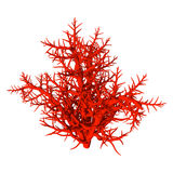 3D Rendering Red Coral on White. 3D rendering of a red coral isolated on white background Royalty Free Stock Photos