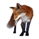 3D Rendering Red Fox on White. 3D rendering of a red fox isolated on white background Royalty Free Stock Photography