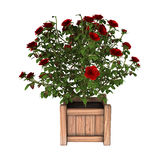3D Rendering Red Rose Bush on White Royalty Free Stock Photography