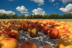 3d rendering of rotten apple in the middle of red apples on wood Stock Photo