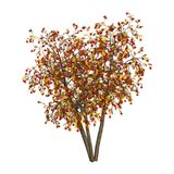 3D Rendering Rowan Trees on White. 3D rendering of an autumnal rowan tree with red berries isolated on white background Royalty Free Stock Photography