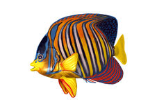3D Rendering Royal Angelfish on White Royalty Free Stock Photography